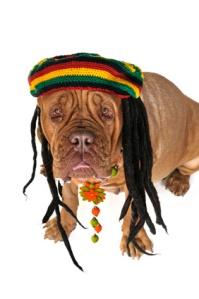 Dangers of Marijuana Poisoning for Your Pet.